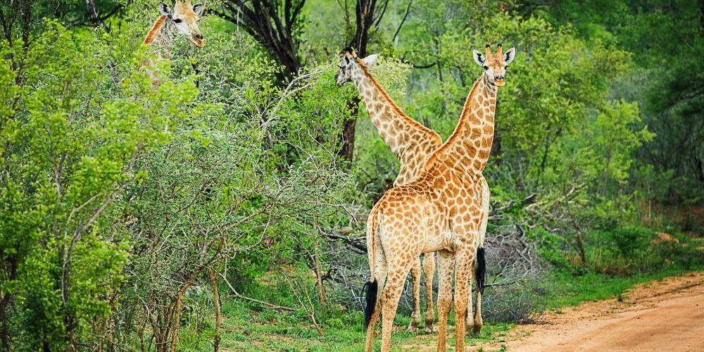 giraffe_pair_kruger_safari