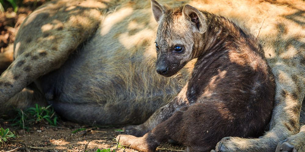 hyena_pup_south_africa