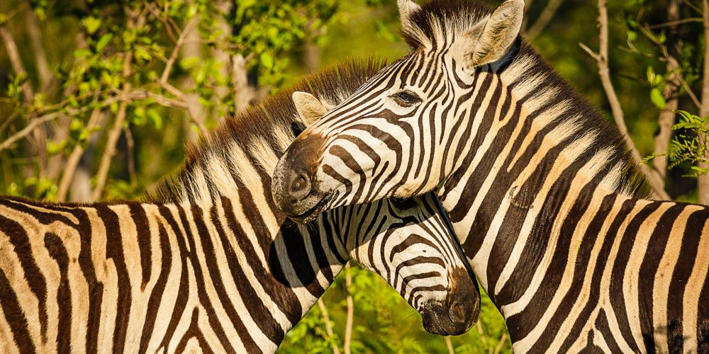 two_zebras_south_africa