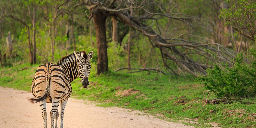 zebra_kruger_national_park