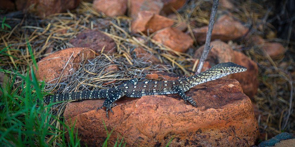 australia_perentie_lizard_outback