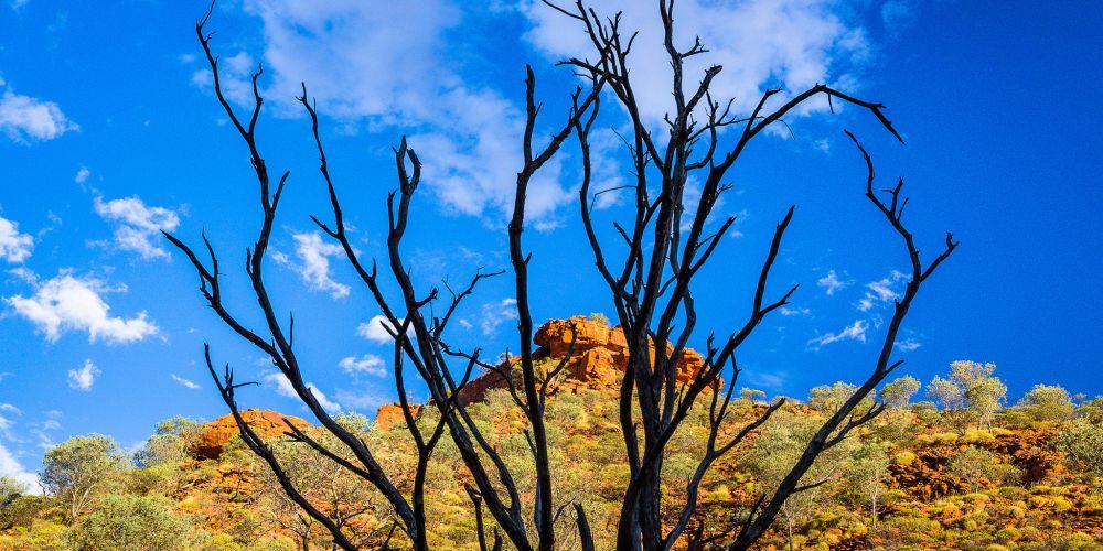 kings_canyon_tree_australia