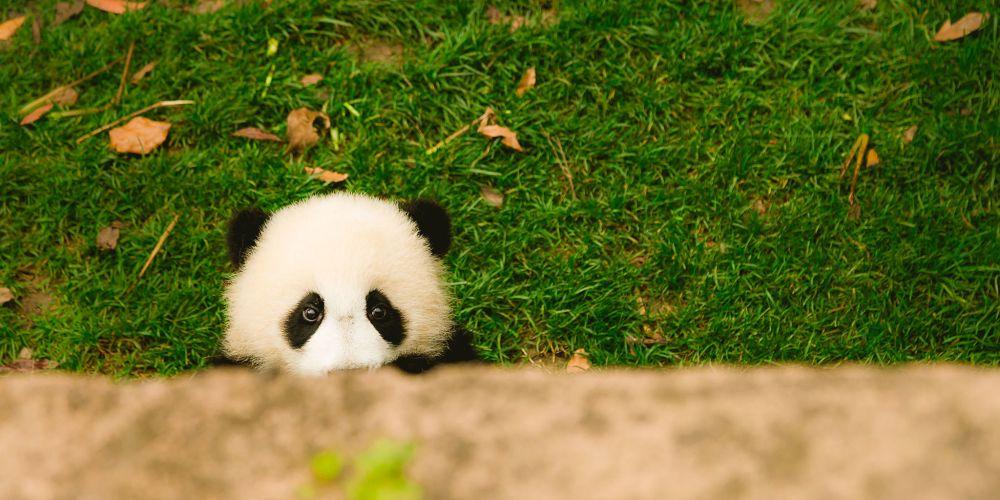 young_panda_cub_chengdu