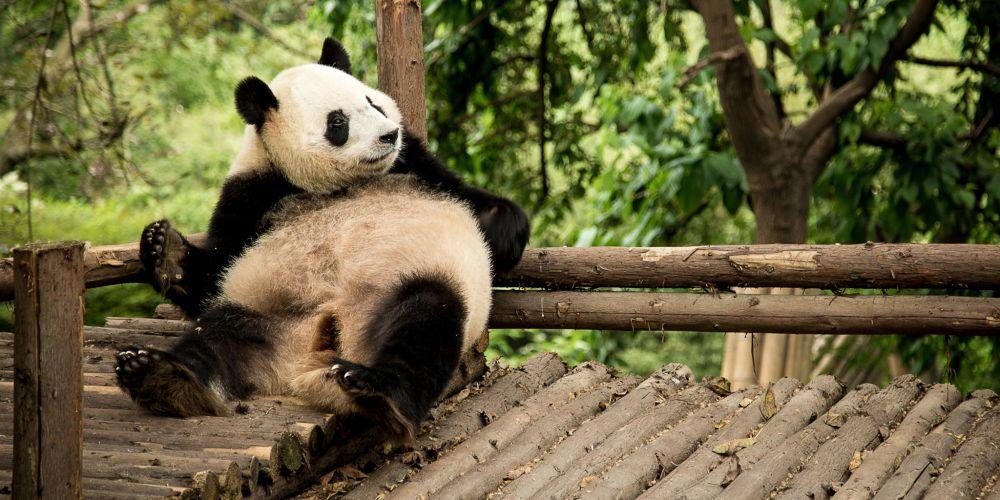 panda_research_chengdu_china