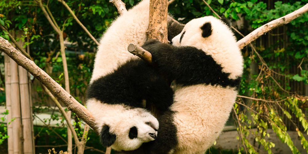 playing_panda_cubs_china