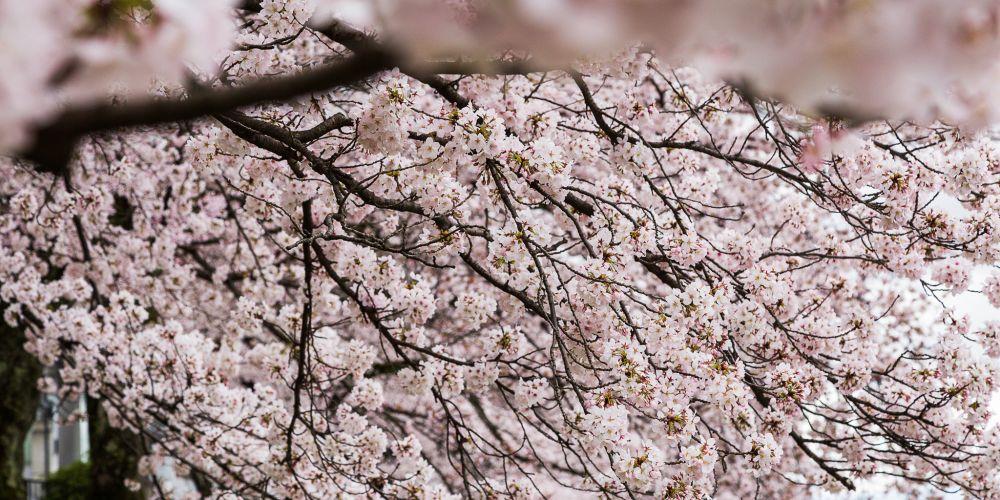 Japan_Cherry_Blossom_Peak_Bloom