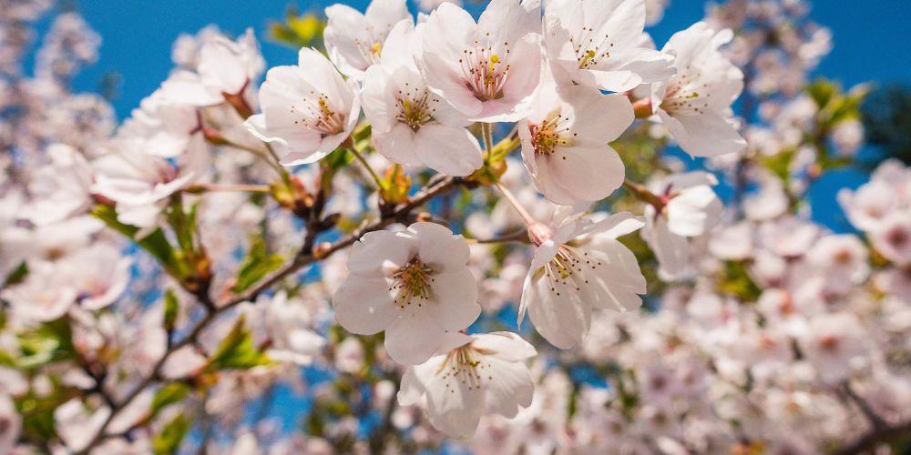 korea_cherry_blossoms