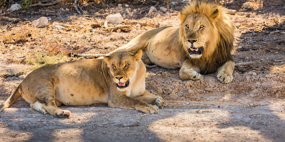 etosha_namibia_lions