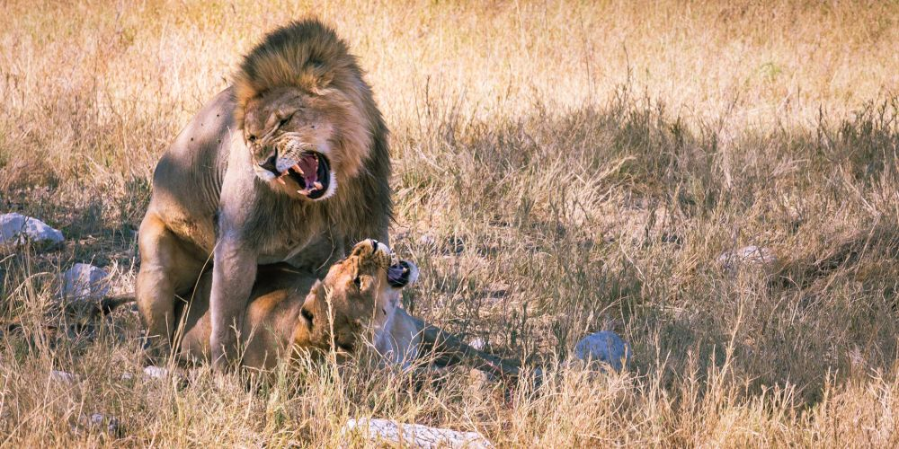 lions_mating