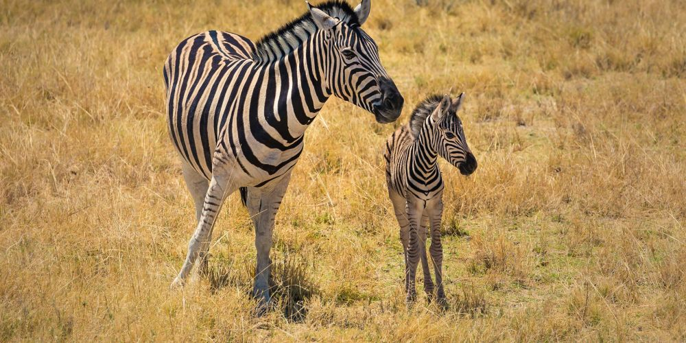 namibia_young_zebra