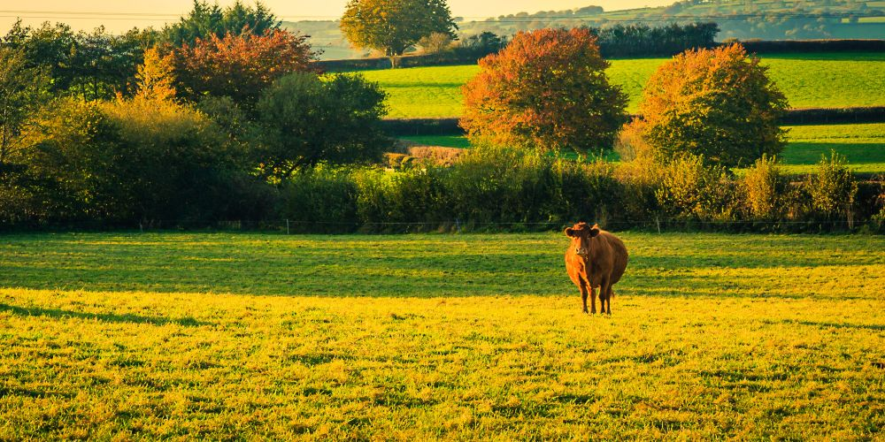 welsh_countryside_cow_uk