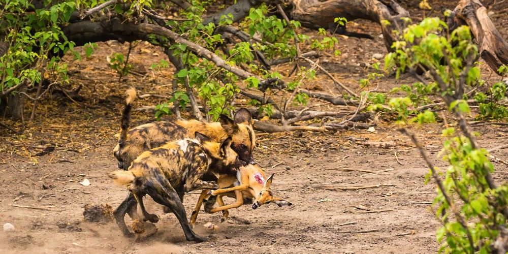 african_wild_dogs_kill