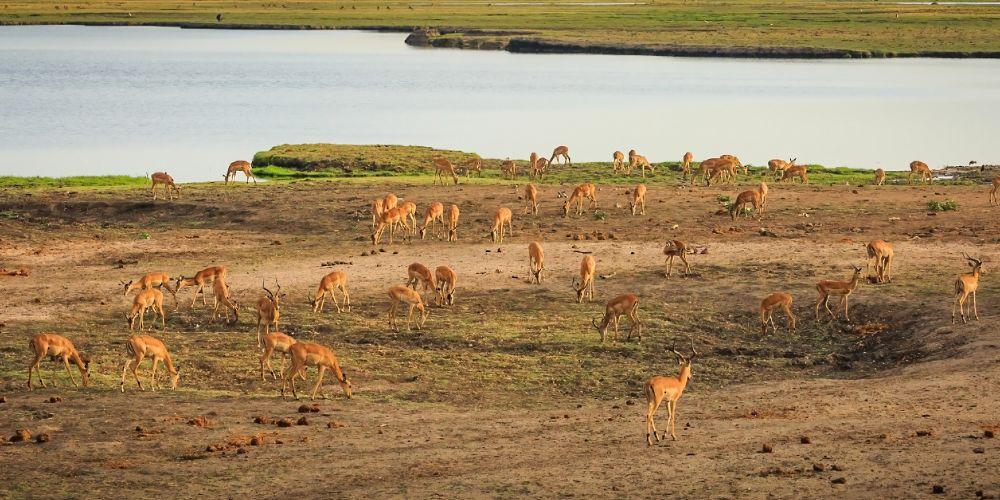 botswana_impalas_grazing