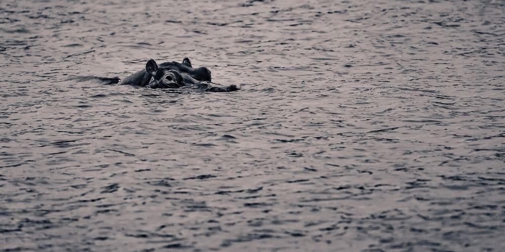 chobe_hippo_swimming