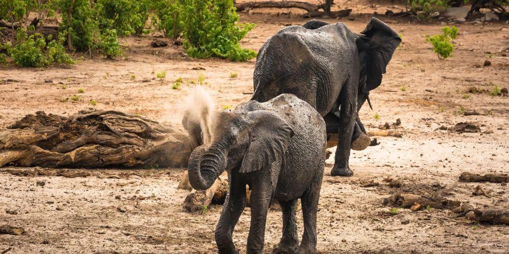 elephant_dust_bath