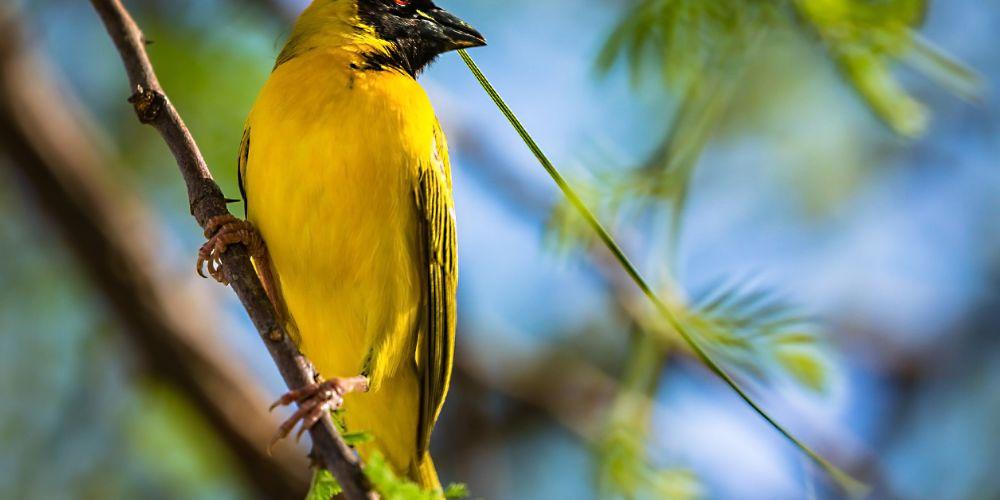 botswana_weaver_bird
