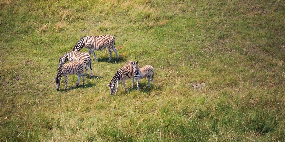 okavango_delta_zebras_overhead