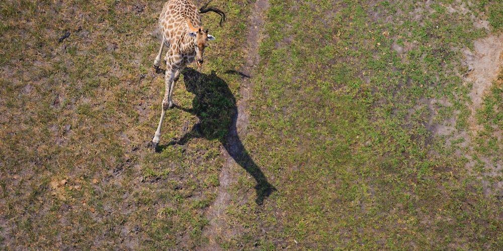 okavango_giraffe