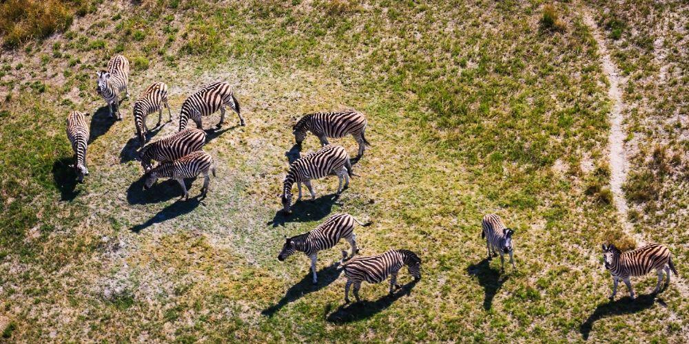 okavango_zebras