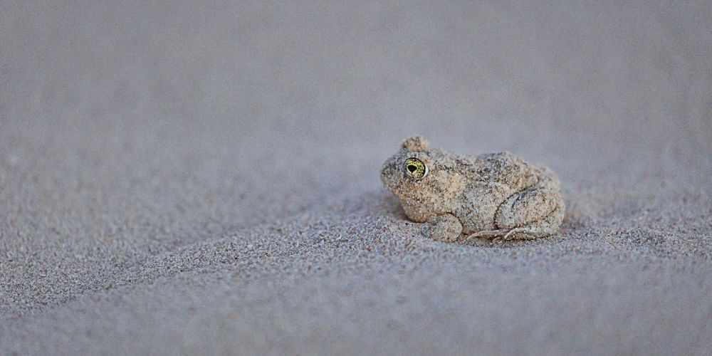sand_frog_south_africa