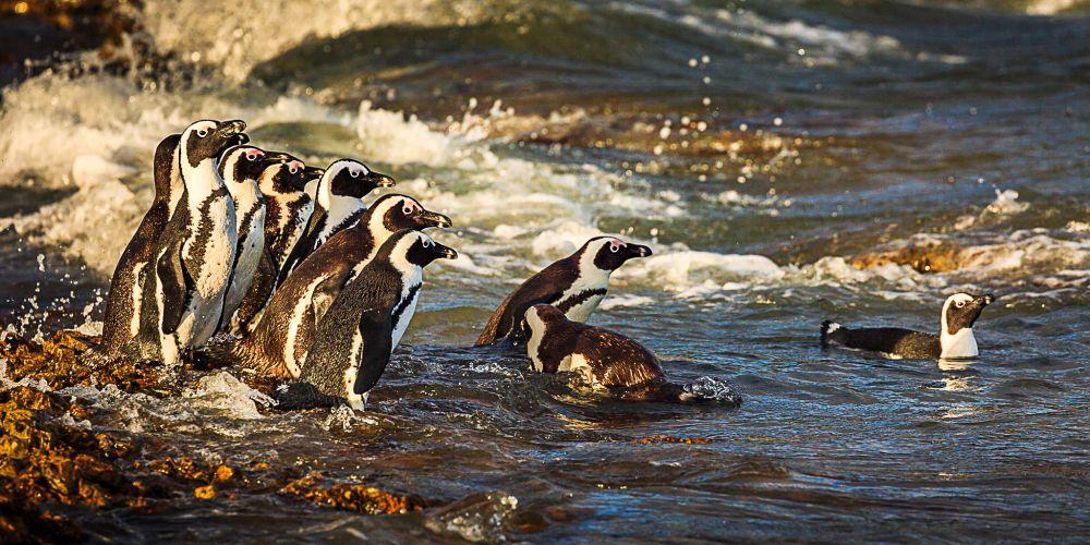 penguins_bettys_bay