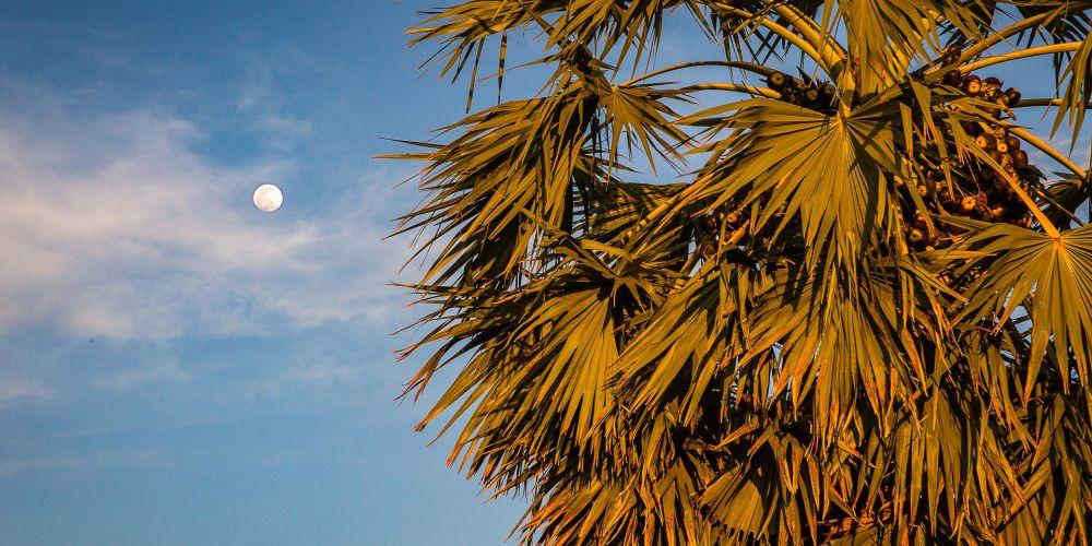 cambodia_moon_palm
