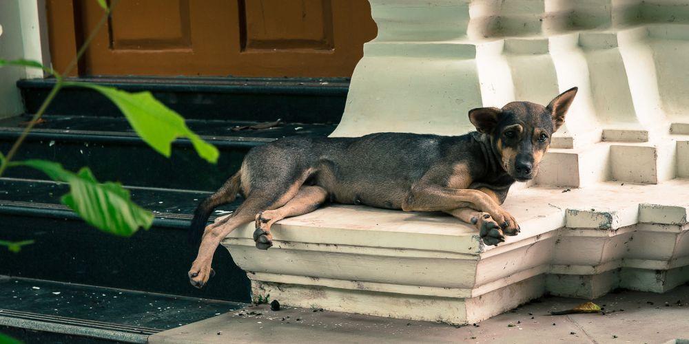 cambodia_stray_dog