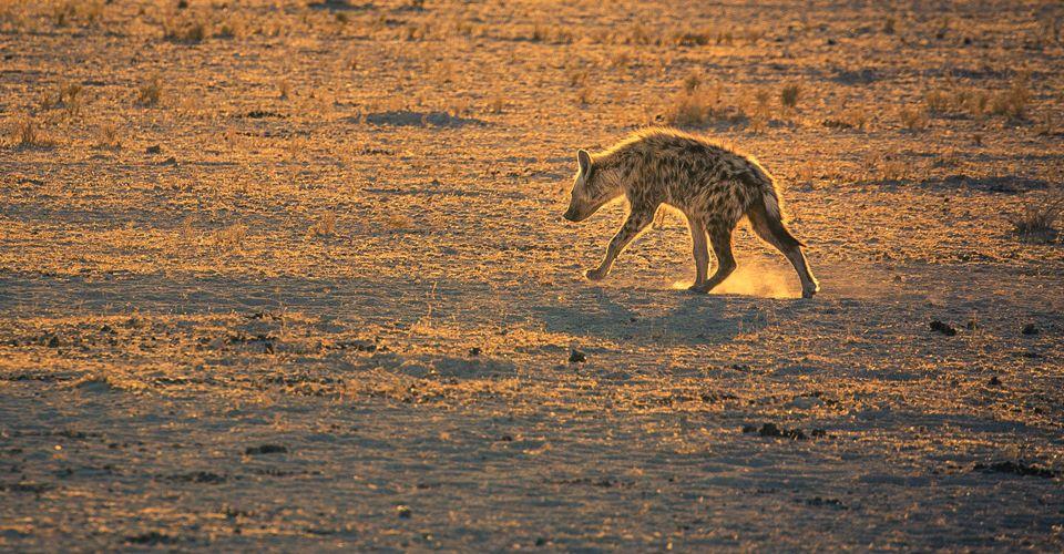 namibia_hyena