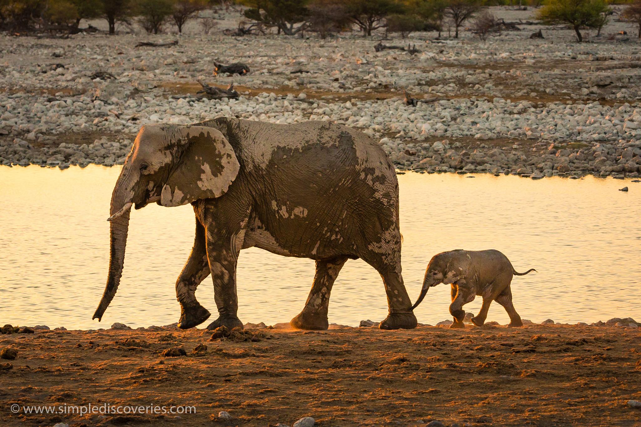 etosha_elephants