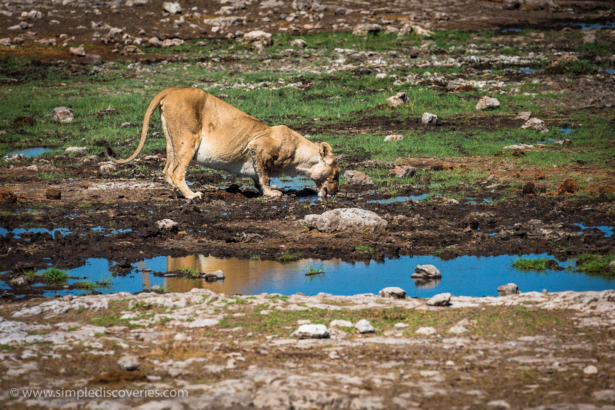 lion_drinking