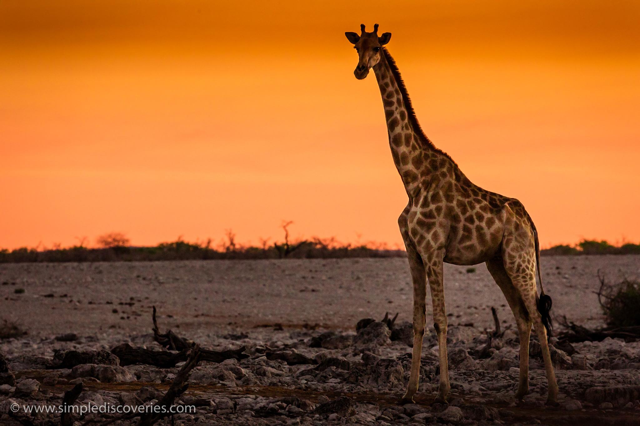 namibia_giraffe_sunset
