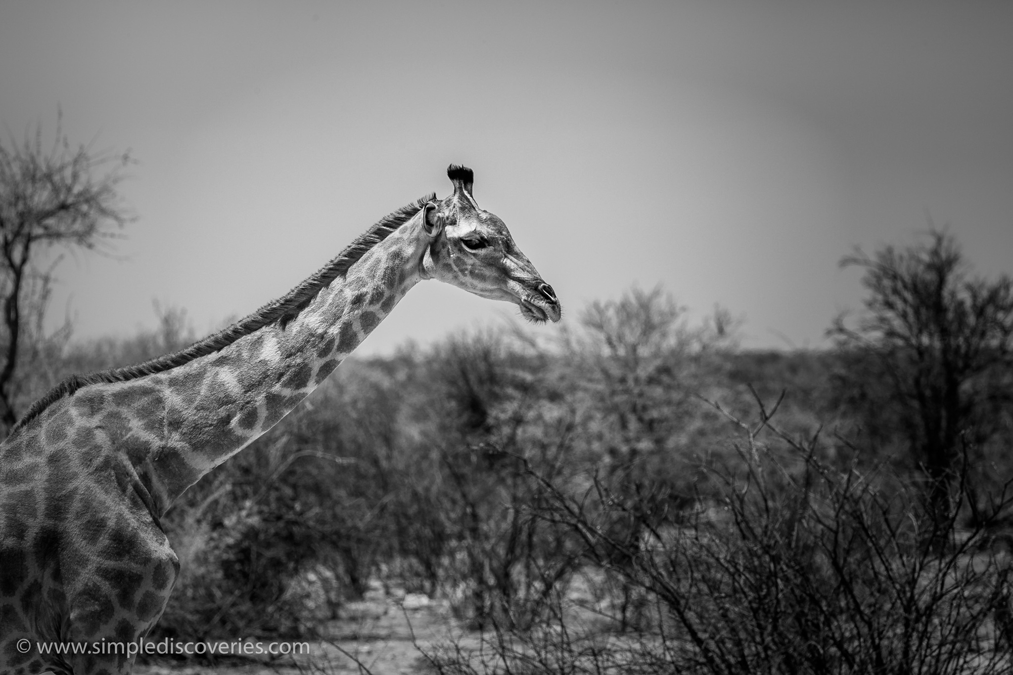 namibia_giraffe