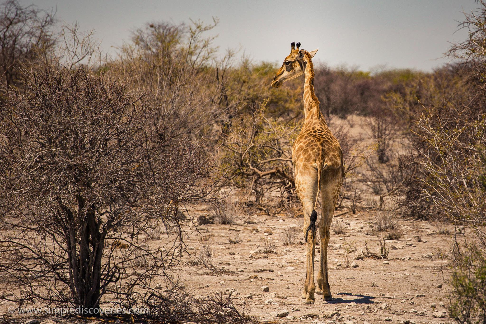 etosha_namibia_giraffe