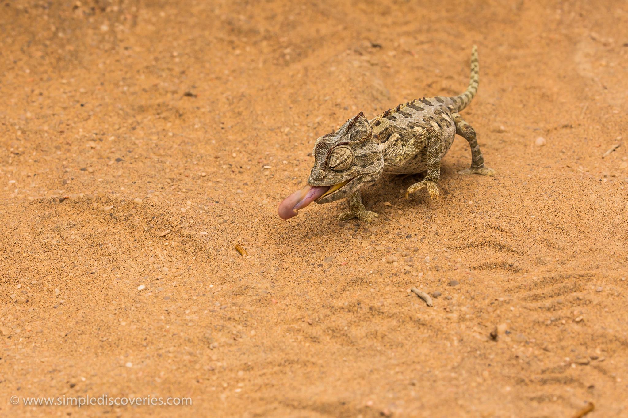 namibia_desert_chameleon