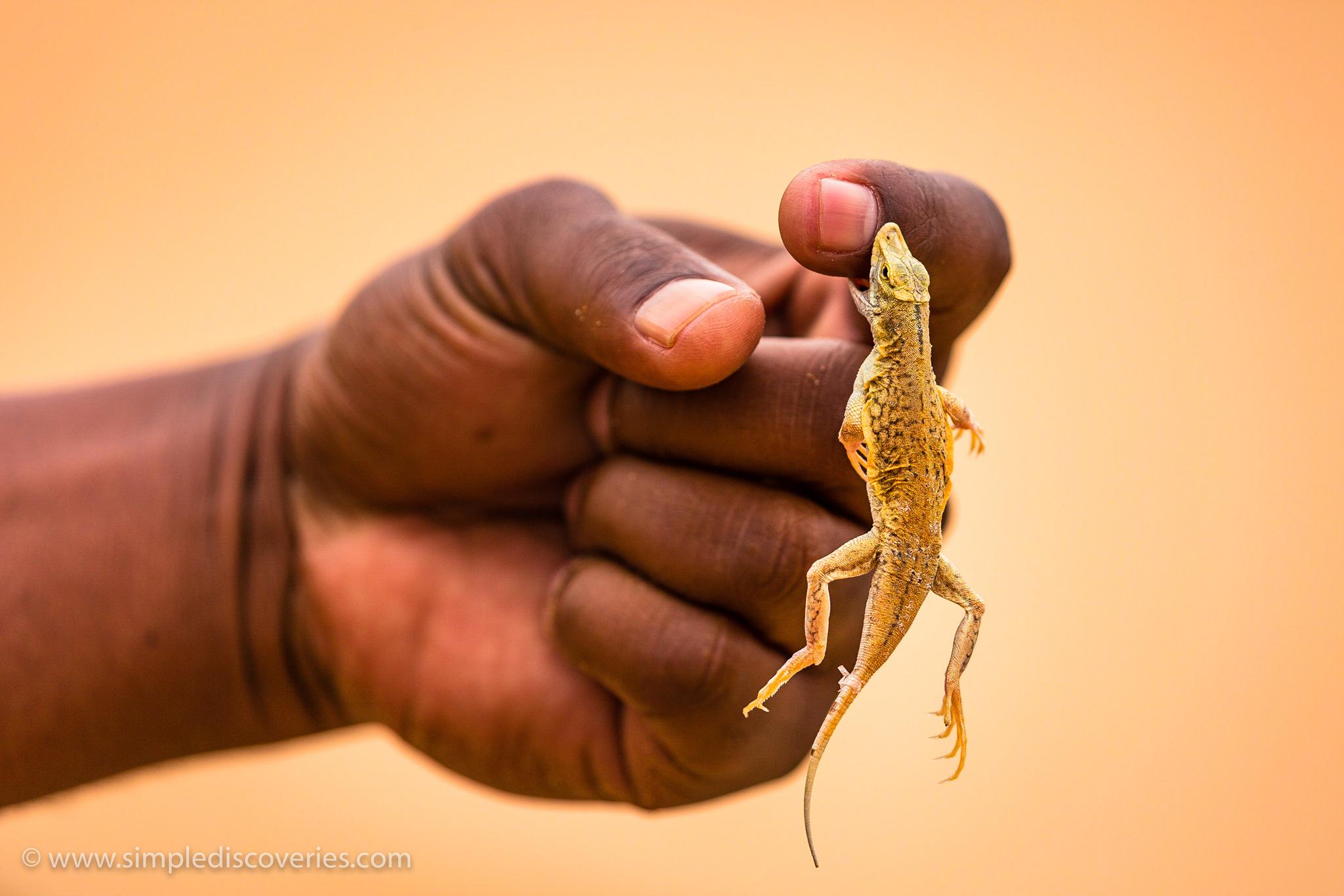 sand_diving_lizard
