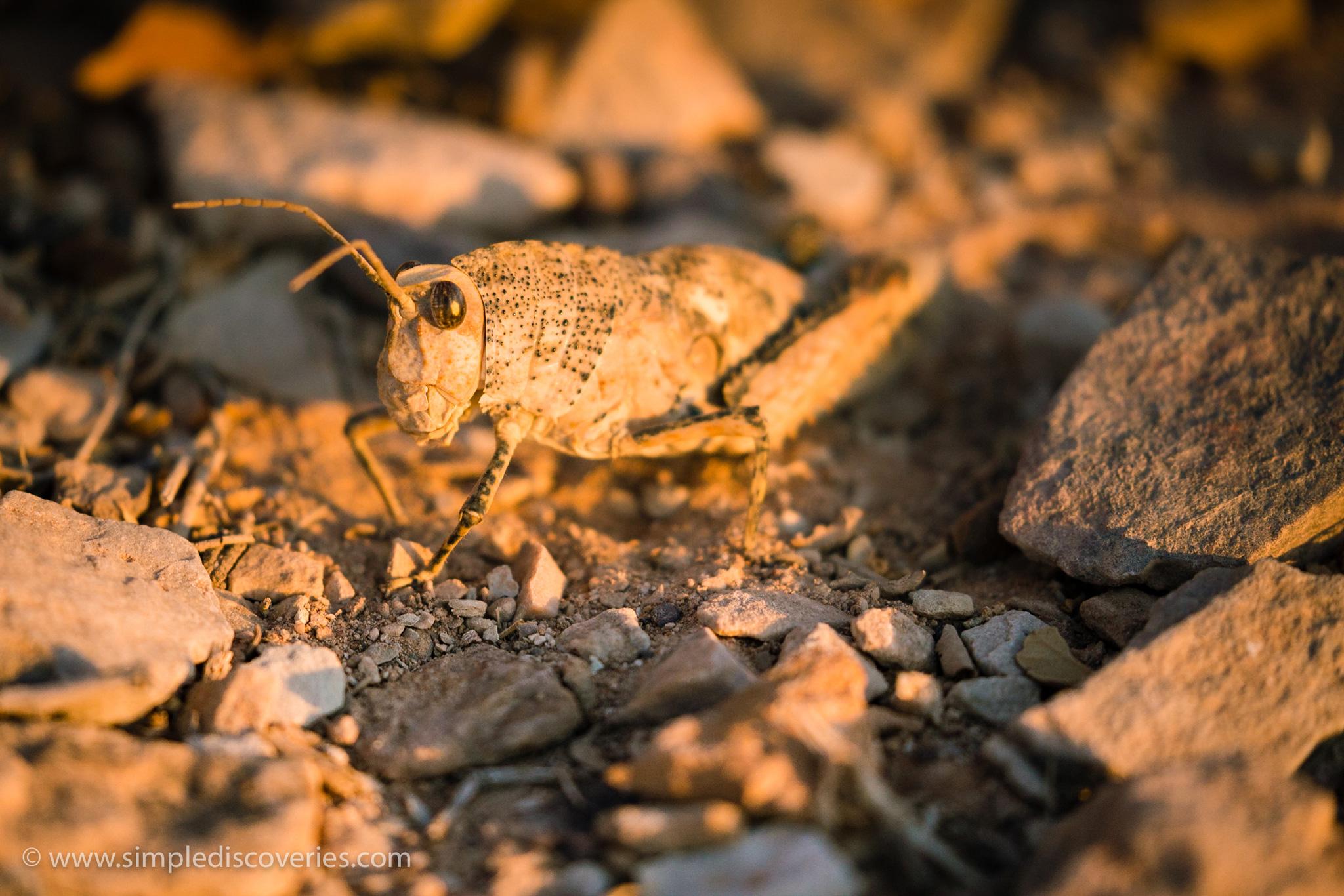 namibia_locust