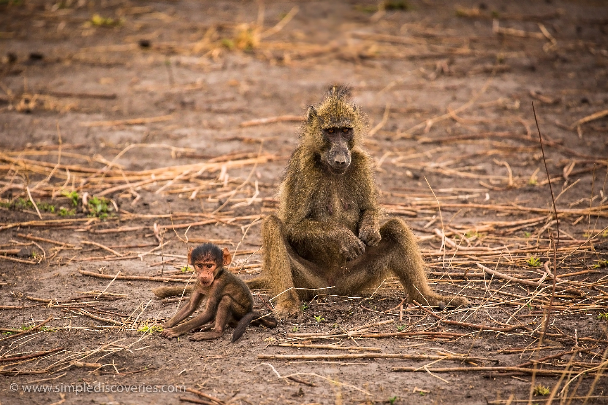 chobe_park_monkeys