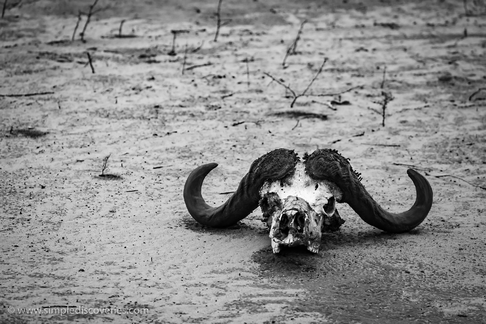 buffalo_skull_botswana