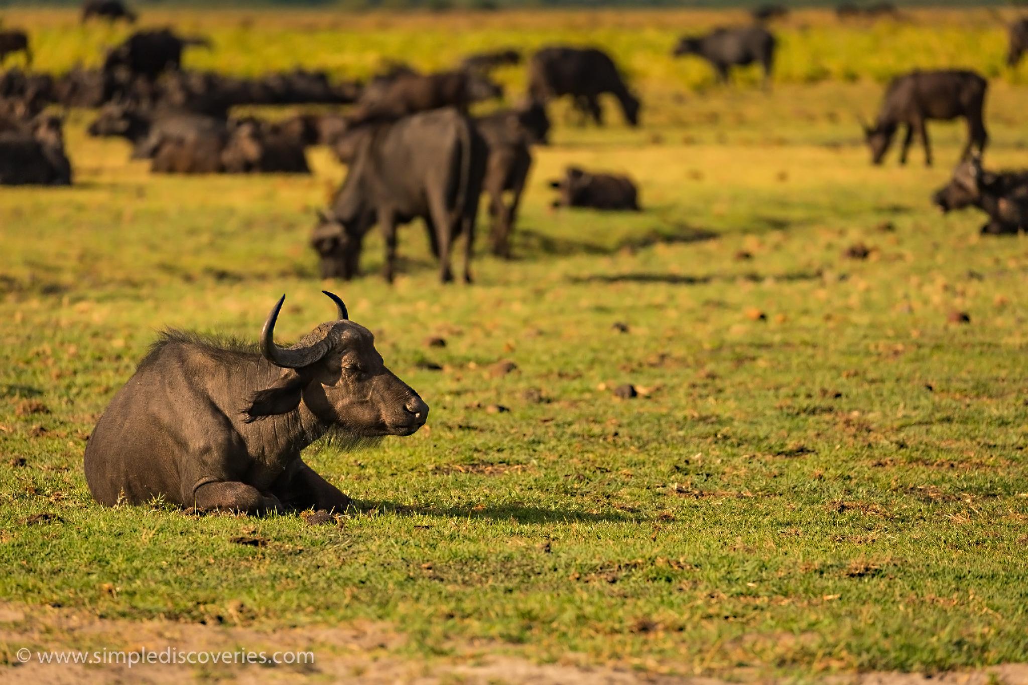 cape_buffalo_botswana