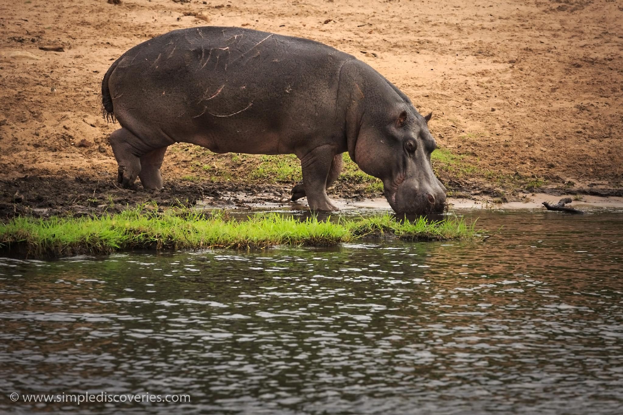 chobe_hippo