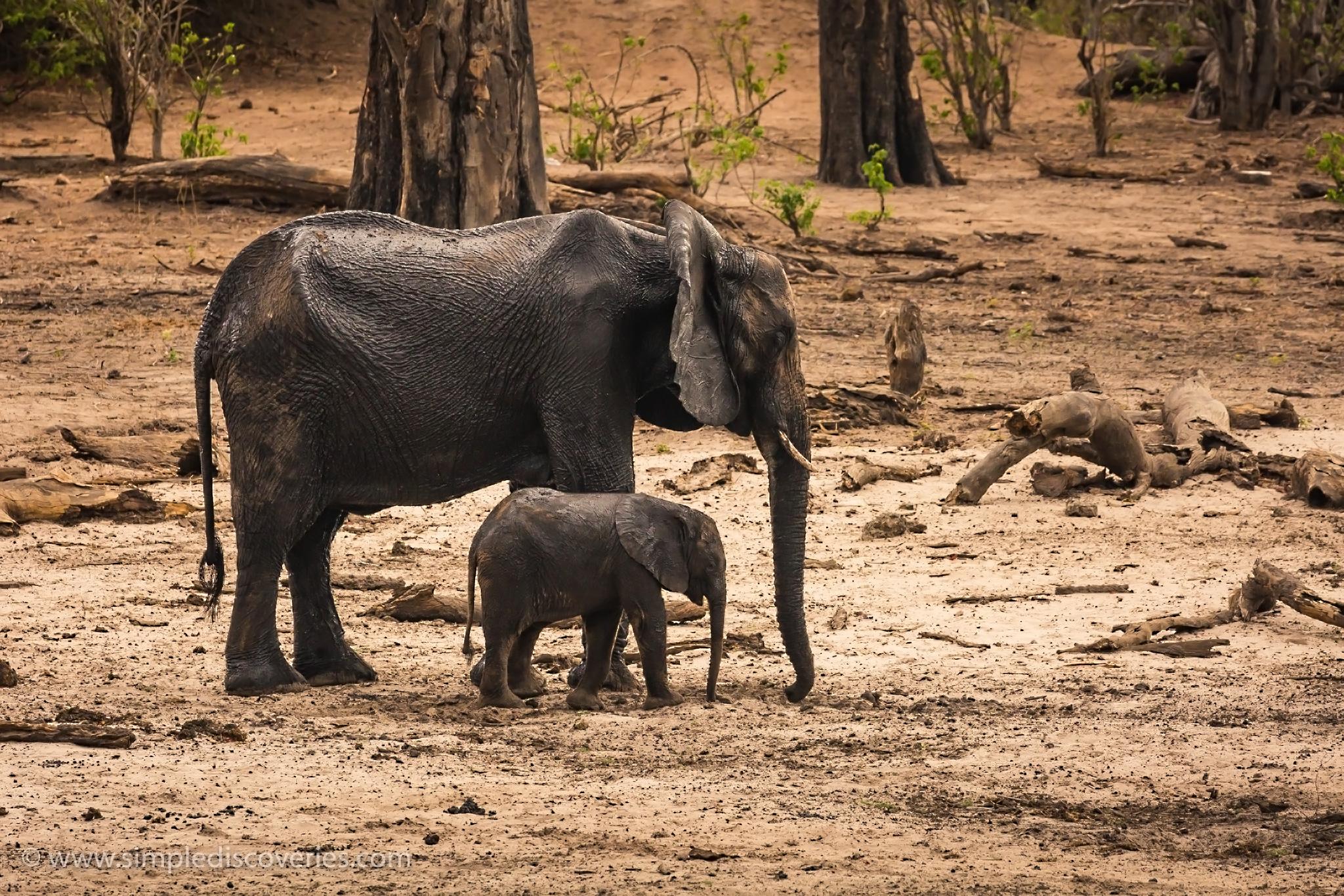 young_elephant_botswana