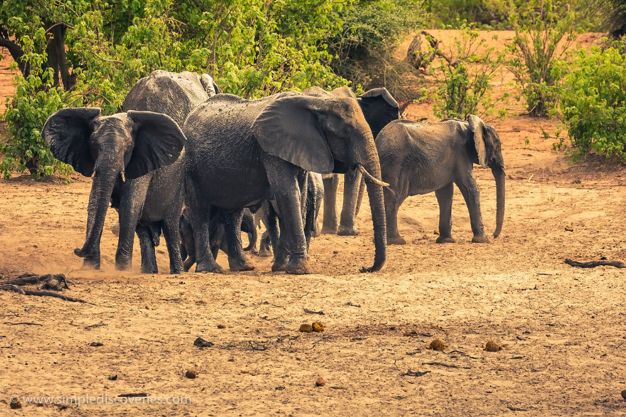 botswana_elephant_herd