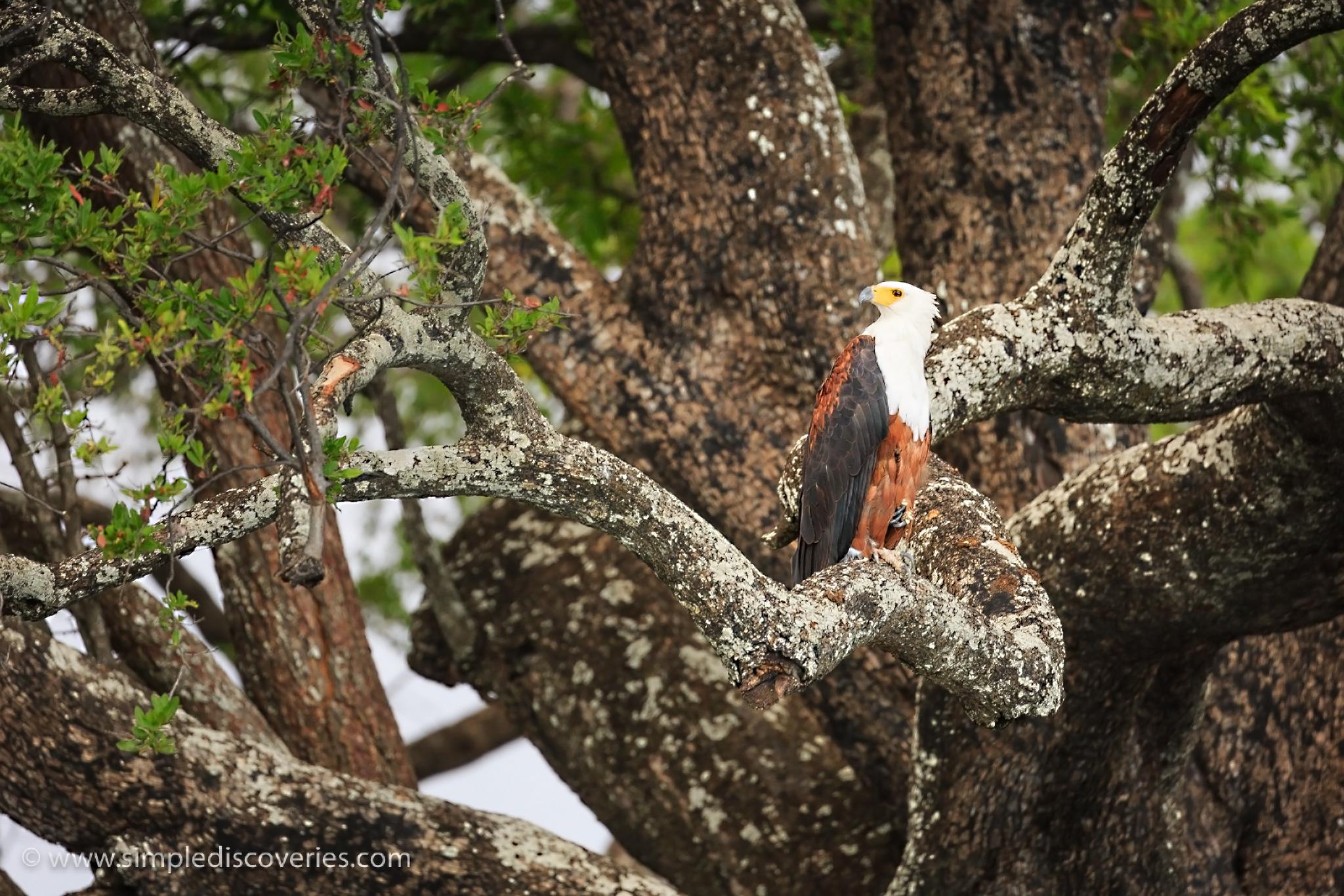 botswana_fish_eagle