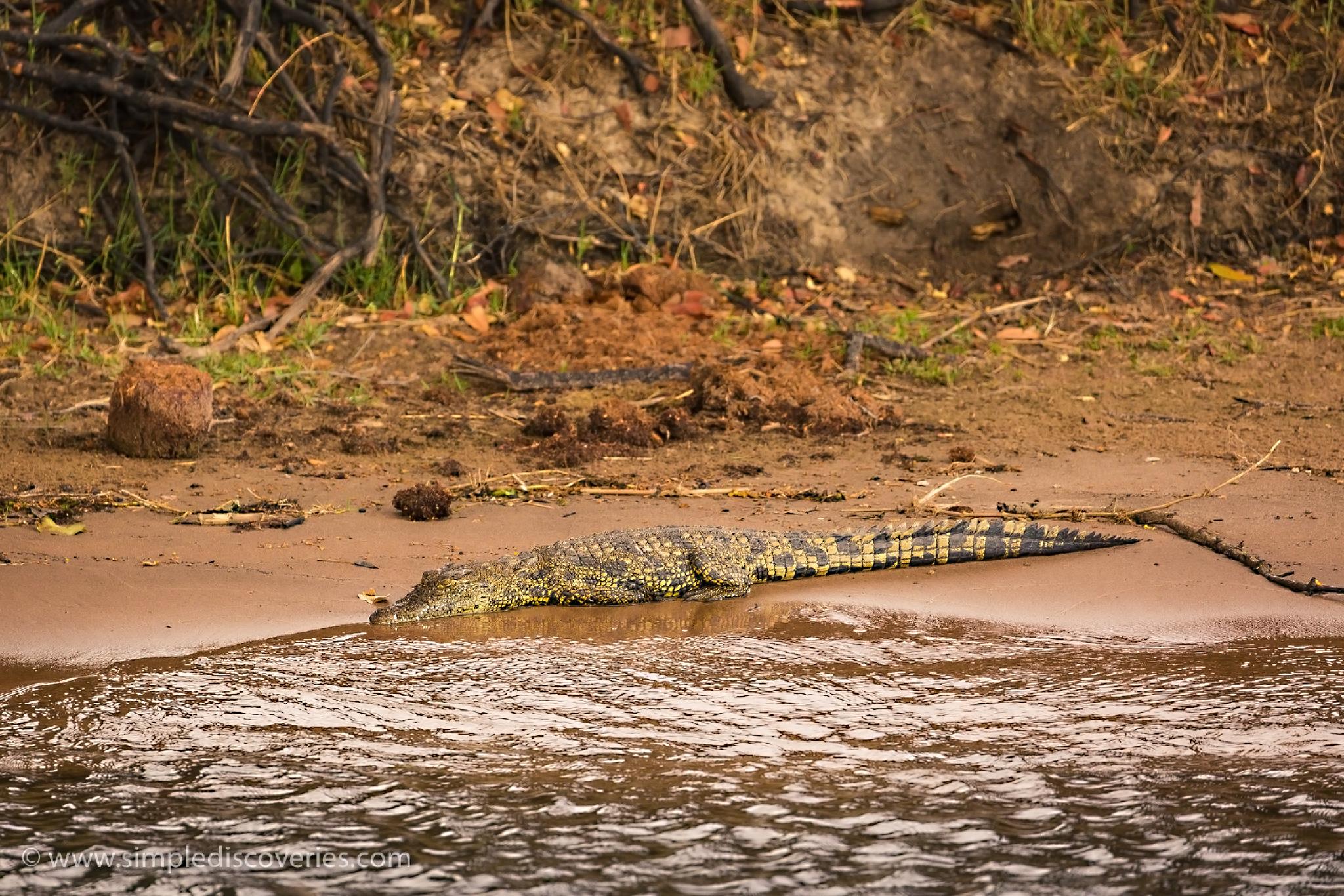 african_croc
