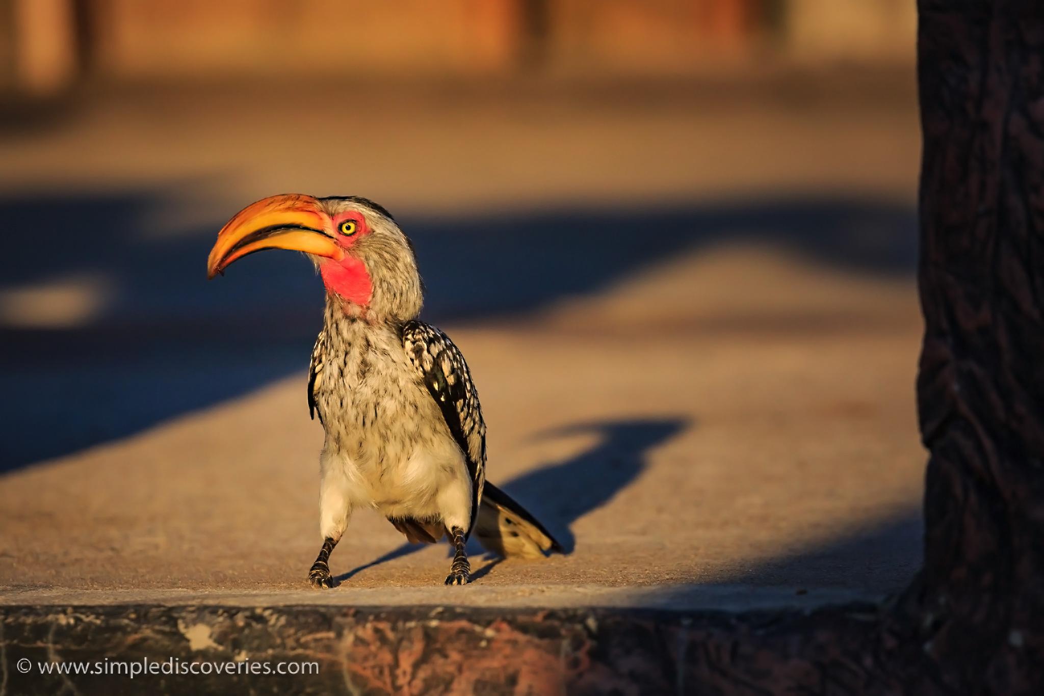 botswana_hornbill