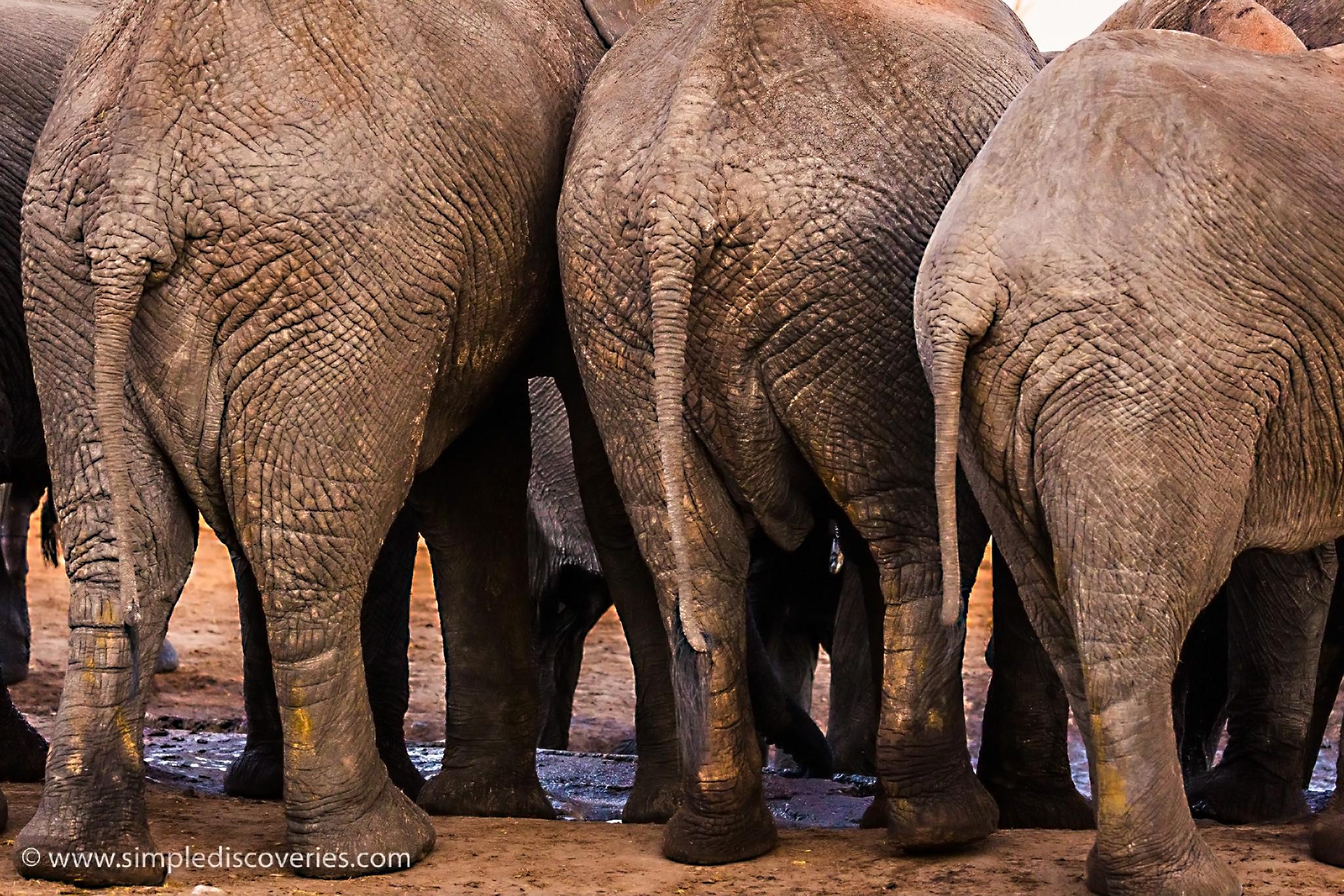 elephant_butts