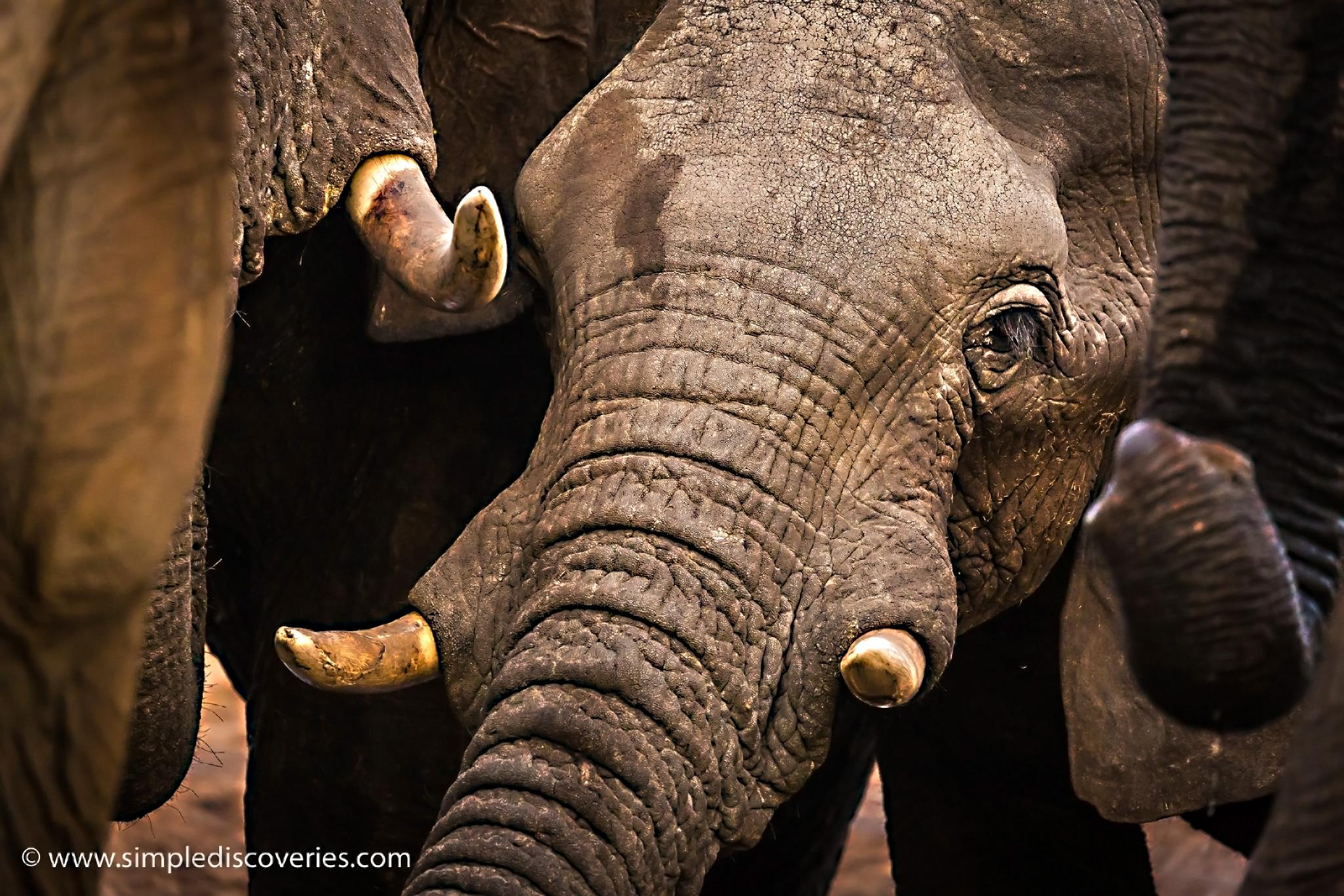 elephant_tusks_botswana