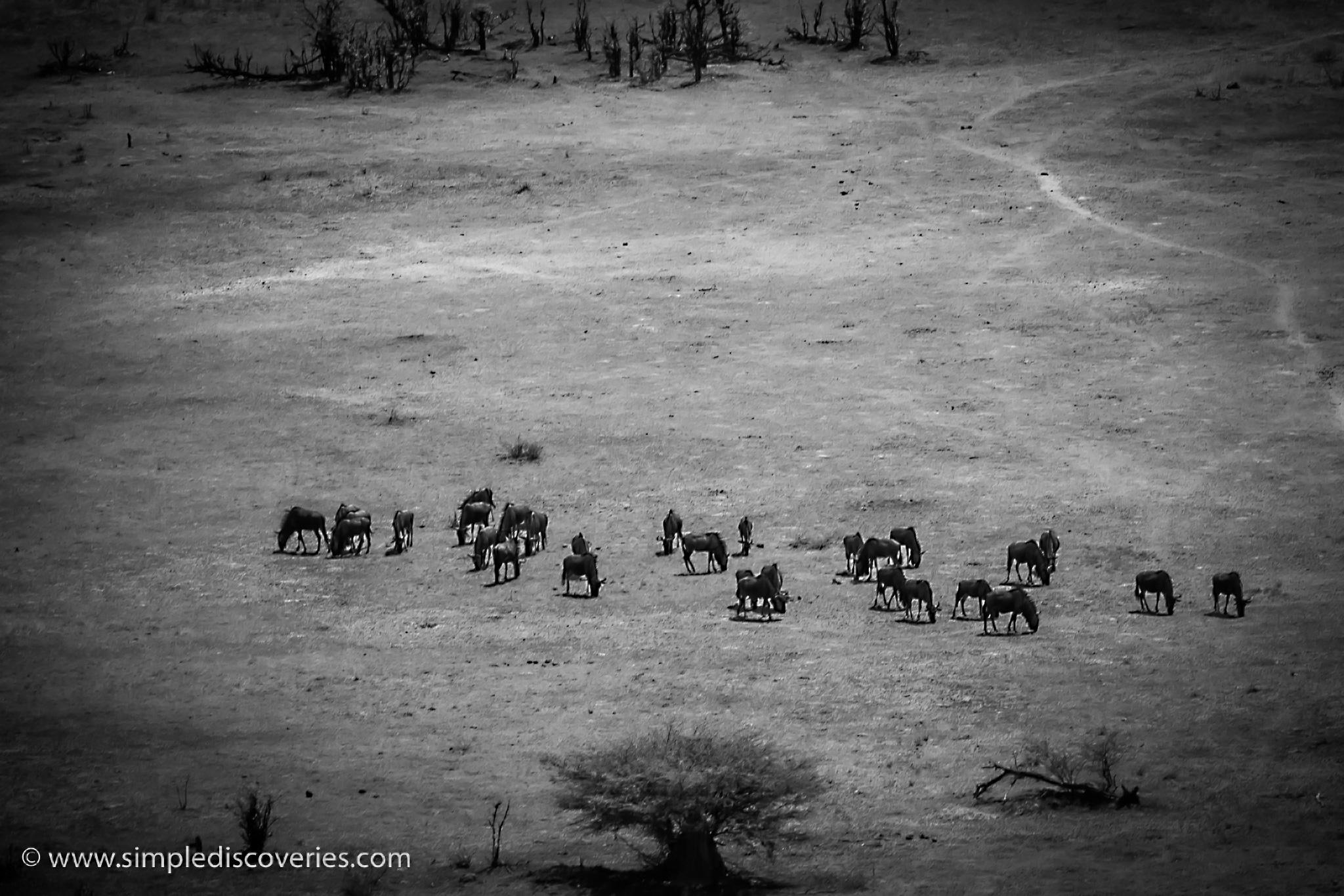 botswana_okavango_wildebeest