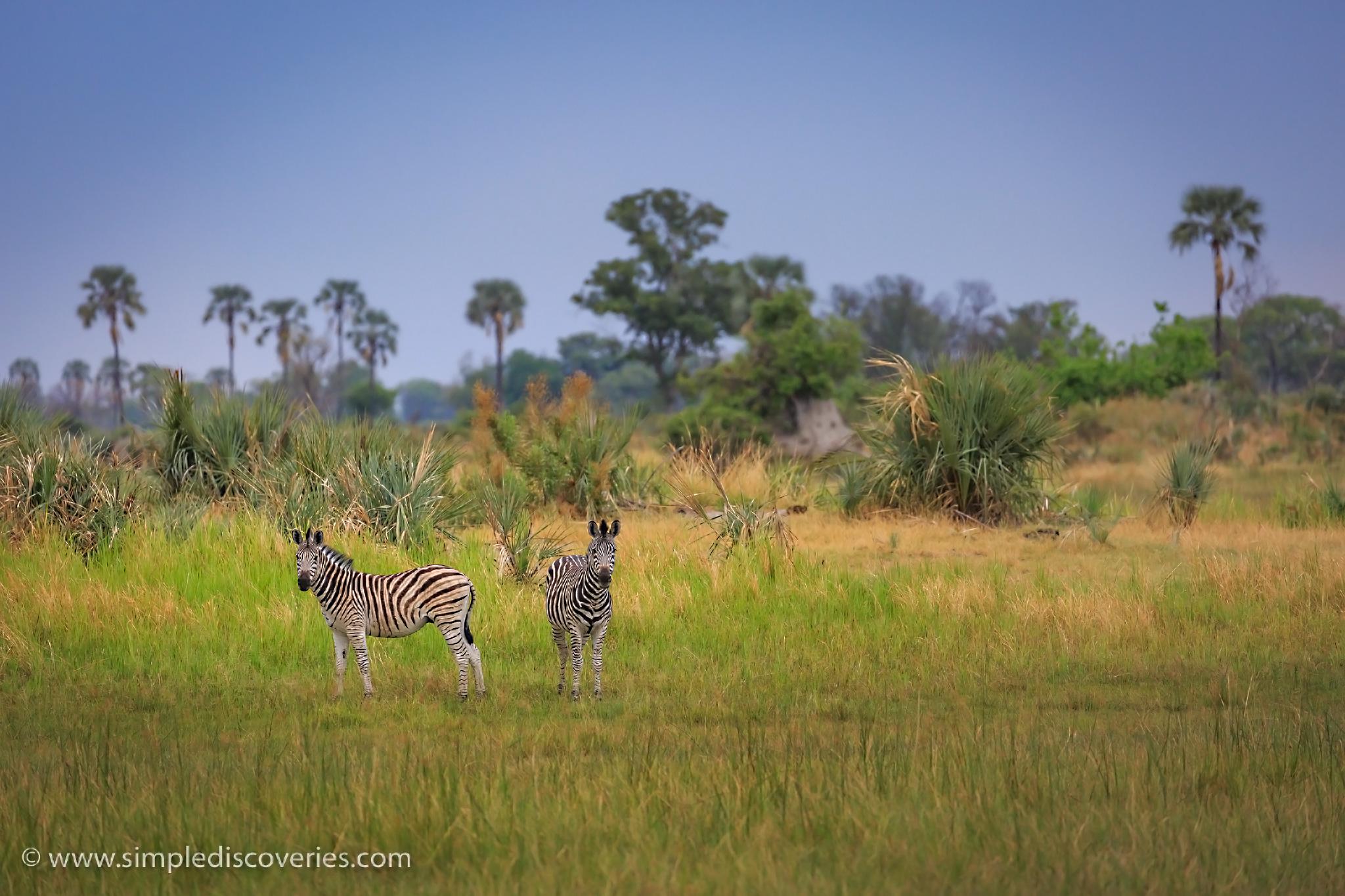 botswana_zebras
