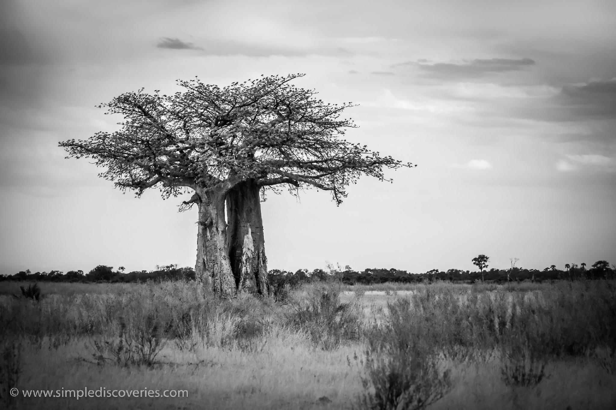 botswana_baobab
